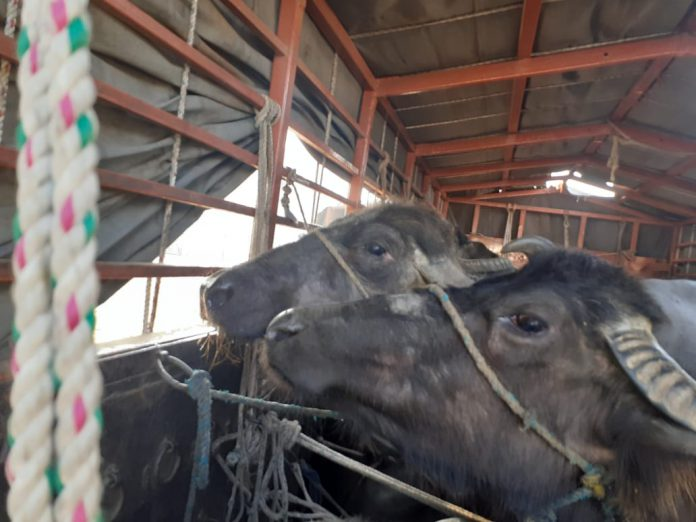 Netrang Police Seized 30 Buffaloes In Bharuch-suratheadlines